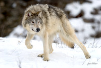 North American Wolf (Cream colored)