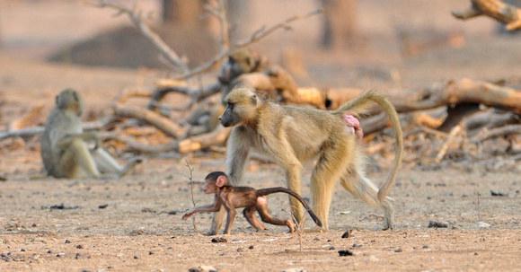 African Baboon