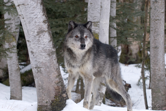 North American Wolf (Grey colored)