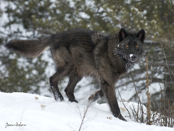 North American Wolf (Black colored)